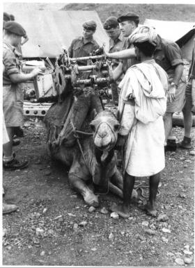 C Troop, 97 (Lawsons Company) Para Light Battery moving their guns by camel, Aden September 1957