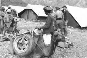 Camels used to transport artillery of C Troop, 33rd Para Light Regiment RA, Radfan, 1957.