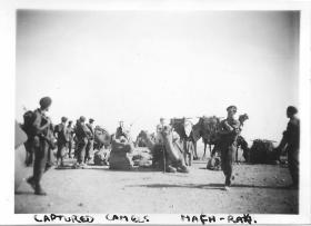 Captured Camels in Mafh-Raki