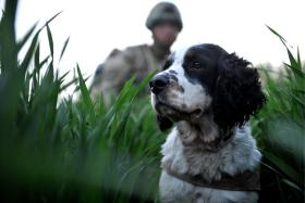 A search dog trained to sniff out explosives and his handler patrol through muddy fields with 2 PARA, Afghanistan, 2011.