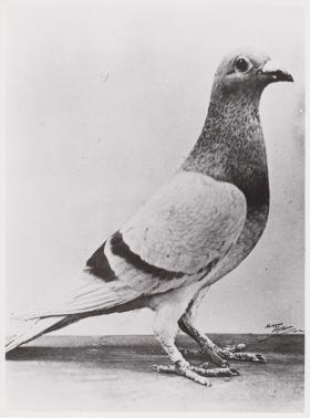 The pigeon William of Orange, c1945.